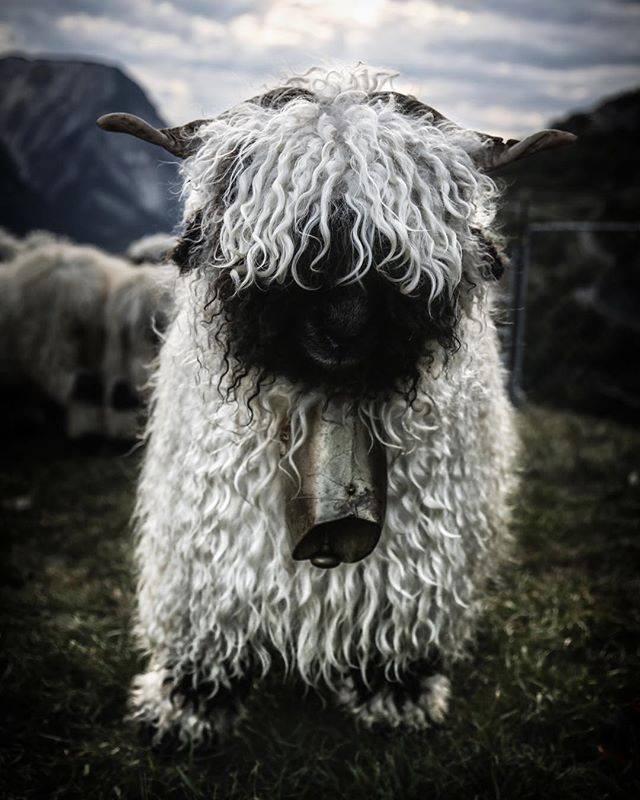 creepy sheep